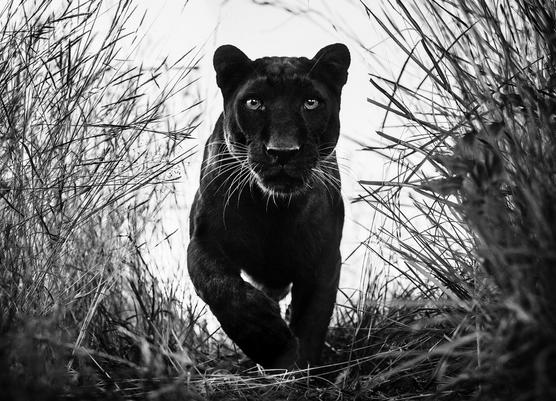 YARROW-Black-Panther